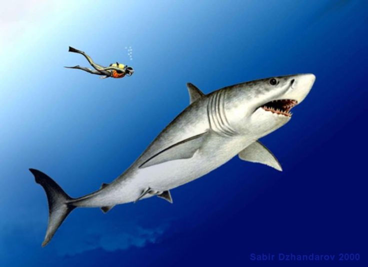 Great white shark.  Carcharodon carcharias.  Большая белая акула