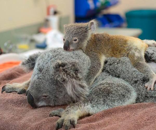 Yürek Isıtan Bir Hikaye: Ameliyattaki Annesini Bir An Olsun Yalnız Bırakmayan Yavru Koala Phanthom