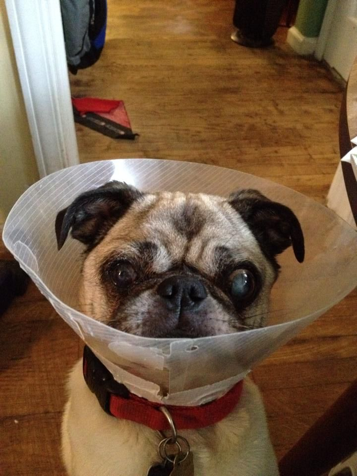 pug puppies san diego 17 best images about henry the rescue pug on pinterest 3883