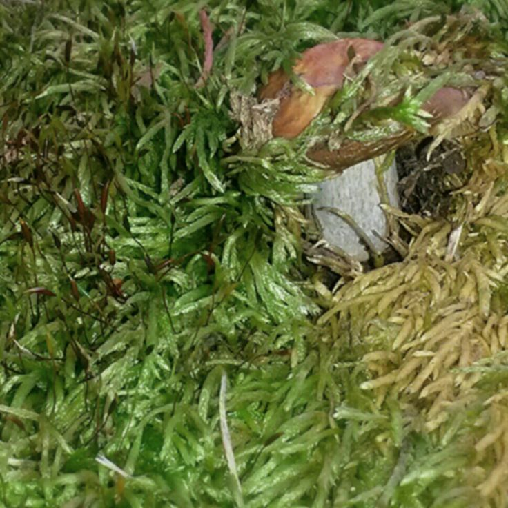 Mushroom Peeking thru
