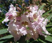 chitalpa flower
