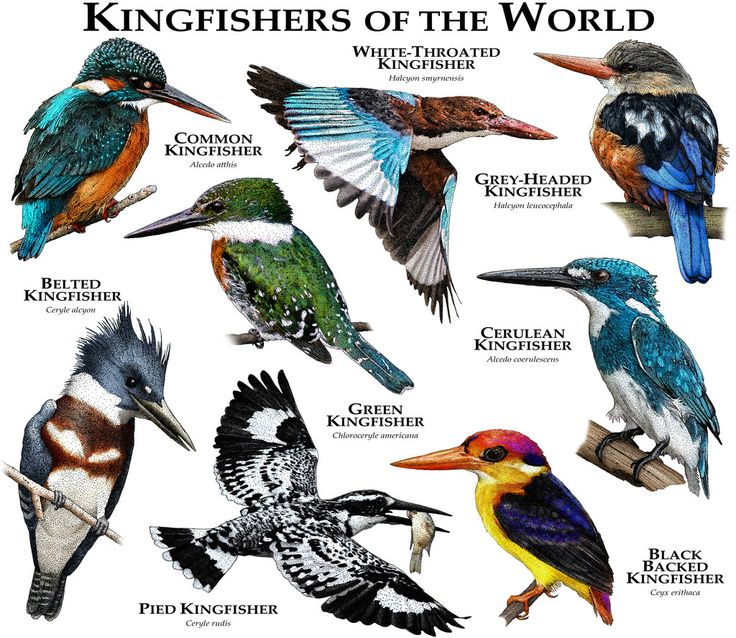 Kingfishers of the World by rogerdhall on DeviantArt