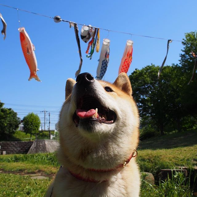 Pinを追加しました!/今日はこどもの日だね #こどもの日 #鯉のぼり #お散歩 #shiba #dog #komugi #柴犬 #日本犬 #赤柴 #shibainu #しばわんこ #柴犬大好き #わんこ #狗 #doge #shibe #shibastagram
