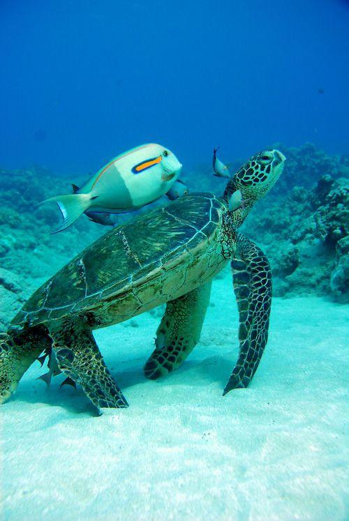 sea turtle & sidekick