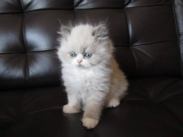Our kitty Cloud :): Noah Boards, Persian Cat, Kitty Clouds