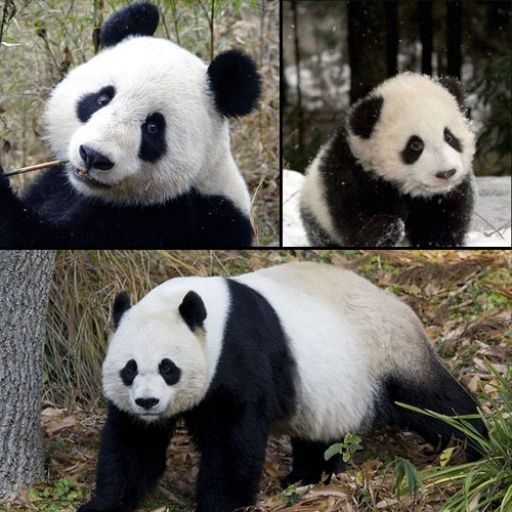 Giant Panda Ailuropoda melanoleuca one of top 10 endangered species down to less than1600 & at risk due to population size