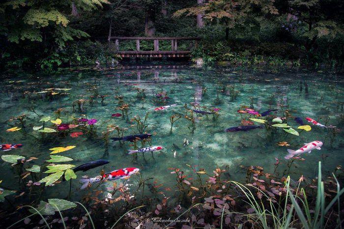 пруд с карпами в японии 1 (700x466, 352Kb)