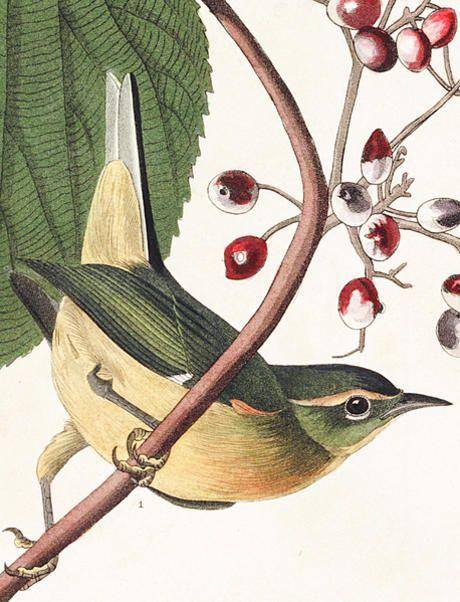 John James Audubon's Birds of America | Audubon http://www.audubon.org/birds-of-america/pine-swamp-warbler