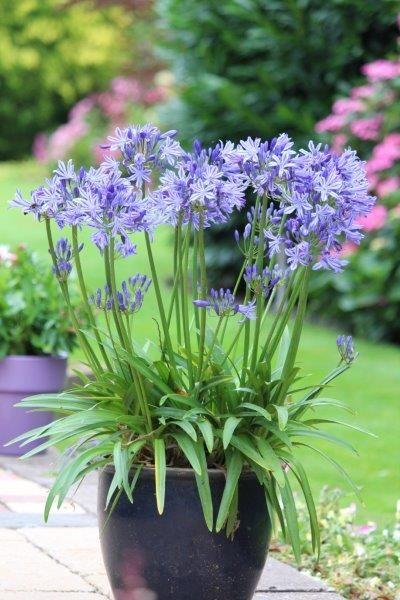 Agapanthus - voor grote en kleine tuinen. Prachtig in potten. #agapanthus #africaanselelie Zie:  http://tuinhappy.nl/agapanthus/