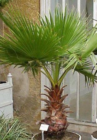 WASHINGTONIA ROBUSTA-MEXICAN FAN PALM