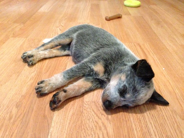 Is That A Stuffed Animal Or A Blue Heeler Puppy Puppy