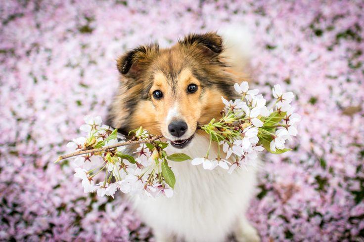 Frühlingsshooting mit Hund. #hundefotografie #hund #hunde #sheltie #puppy #fotografie #frühling #flowers #buddyandbello #buddybello