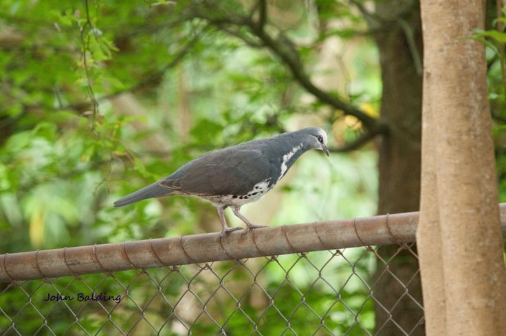 A young adult Wonga Pigeon checking the possibilities for a feed
