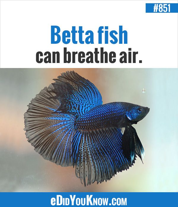 35 best images about did you know on pinterest for Why do betta fish fight