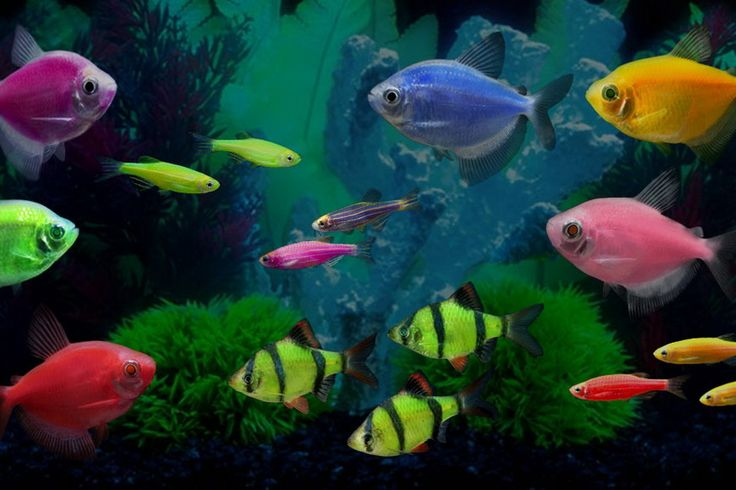 17 best images about fish on pinterest glow betta fish for Glow in dark fish