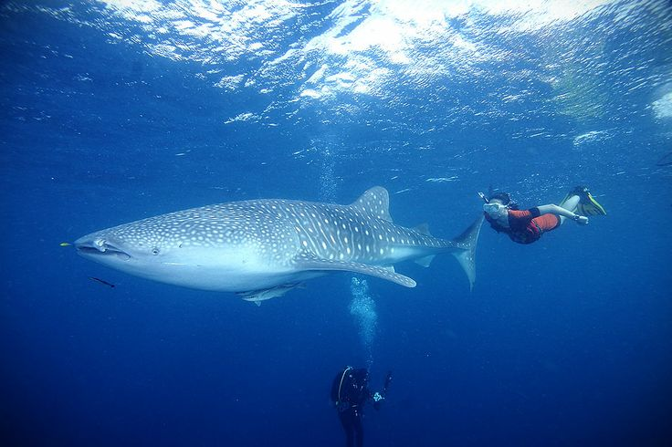 Besides Raja Ampat, Cendrawasih Bay National Park is also one of the best dive-sites in the archipelago; the whaleshark is the best and most attractive attraction in this marine park located in the Eastern area of Indonesia. Visit Cendrawasih Bay National Park and explore the amazing marine landscape where the amazing whalesharks inhabit.