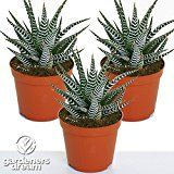 Pugh's Cacti Cactus Top Dressing: Amazon.co.uk: Garden & Outdoors
