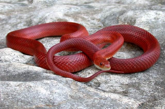 Bloodred Corn Snake, so gorgeous! I want one