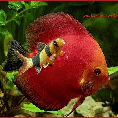 Discus fish and clown loach ~~ two of my favorite fish, graceful discus and…