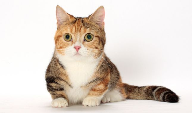 Munchkins are energetic, short-legged cats suited for any home. Learn all about Munchkin breeders, adoption, health, grooming, and more.