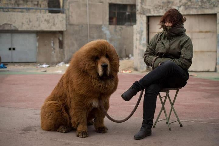 (41) Facebook  Tibetan Mastiff, the most expensive dog in the world.
