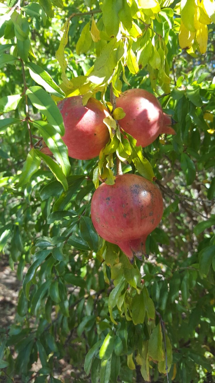 Granny Bunch's pomegranate tree