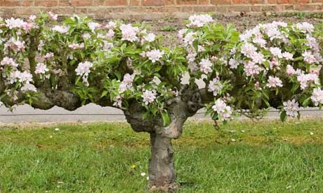A step-over apple . A step-over is a low-growing, horizontally trained tree, around 45cm high, so you can step over it – diminutive, yet very productive. It is perfect for lining a path or edging a bed.