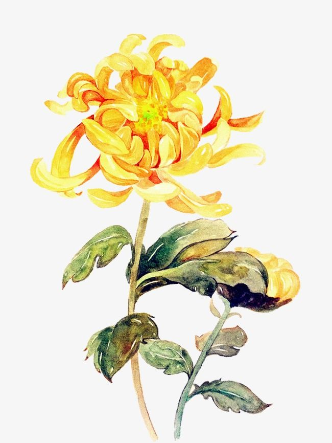 Yellow Painted Chrysanthemum Flowers Painting Hoa Bằng Mau Nước Hoa Cuc