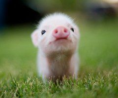 teacup pigs:) I have always wanted a pet pig!!
