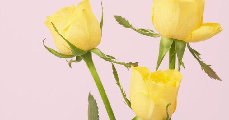 Cómo mantener las rosas vivas por más tiempo. Los rosales son flores aromáticas que vienen en muchas variedades y colores. Un florero lleno de rosas cortadas dura entre cuatro y 12 días. Con el cuidado adecuado, las rosas pueden tener una vida útil más larga. Alimenta, riega, poda y arréglalas en forma adecuada y vivirán mas tiempo.