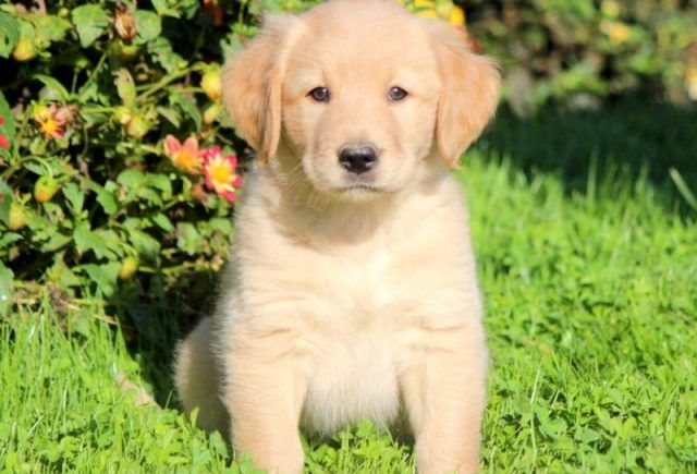 Golden Labrador Goldador Puppies For Sale Puppy Adoption Keystone Puppies In 2020 Puppies For Sale Golden Labrador Puppies Labrador Puppies For Sale