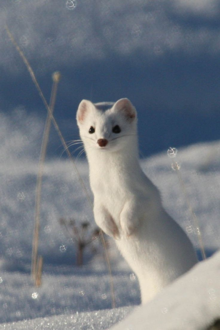 Small Animal Reptiles And Amphibian Habitats: White Stoat In The Snow (aka Ermine)