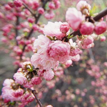 Flowering almond:     Sun Zones:     3-7 Plant Type:     Shrub Plant Height:     To 12 feet tall Plant Width:     To 12 feet wide Flower Color:     Pink Bloom Time:     Spring Landscape Uses:     Beds & Borders