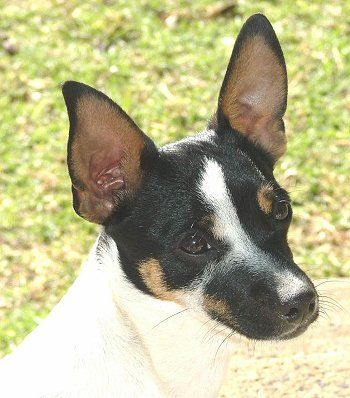 Miniature Fox Terrier- good for apartments