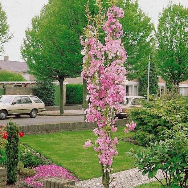 7ft Amanogawa Cherry Blossom Tree 18l Pot Cherry Blossom Tree Blossom Trees Deciduous Trees