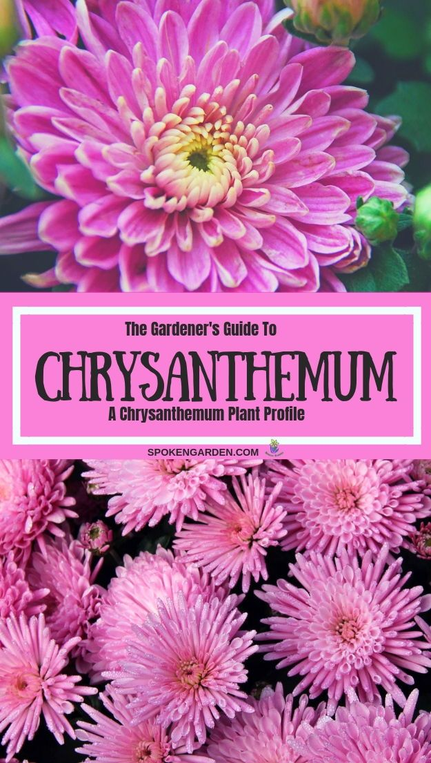 Chrysanthemums A Gardener S Guide And Plant Profile Chrysanthemum Plant Plants Fall Garden Vegetables