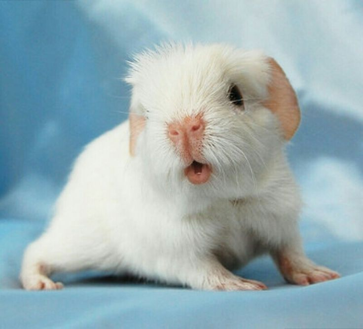 31 Best Images About Albino Guinea Pigs On Pinterest