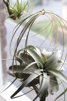 These delightful hanging ornaments are composed of concentric brass coils to support your favorite air plant! #elainebjewelry