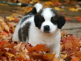 san bernard puppies