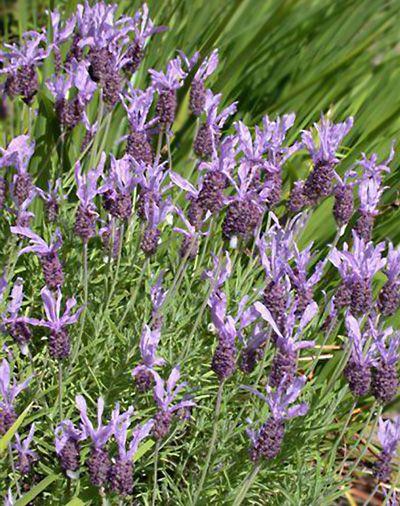 Tuin aanleggen » Blog Archive » Wanneer lavendel snoeien