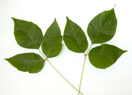 Natural home remedies: Poison ivy