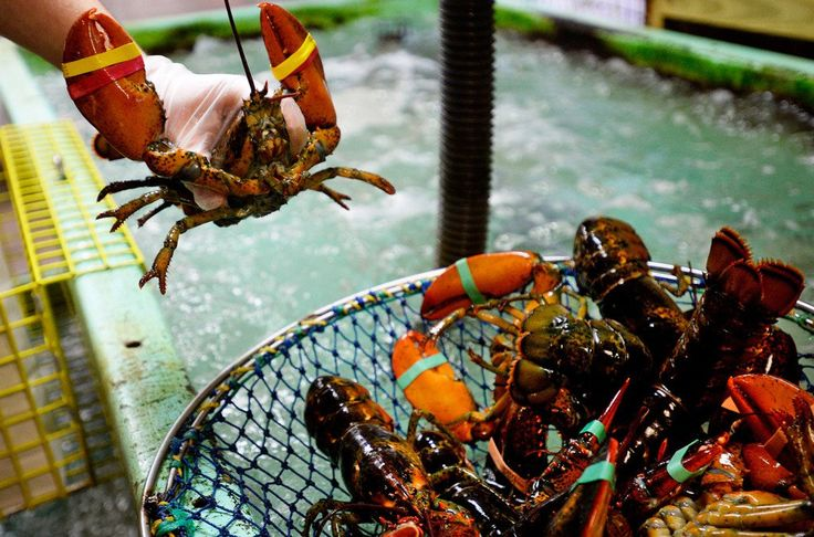 Abraham Turcotte of Harbor Fish Market in Portland takes lobsters out of the tank Thursday. A new forecast says this year's peak lobster season may coincide with the peak tourist season.