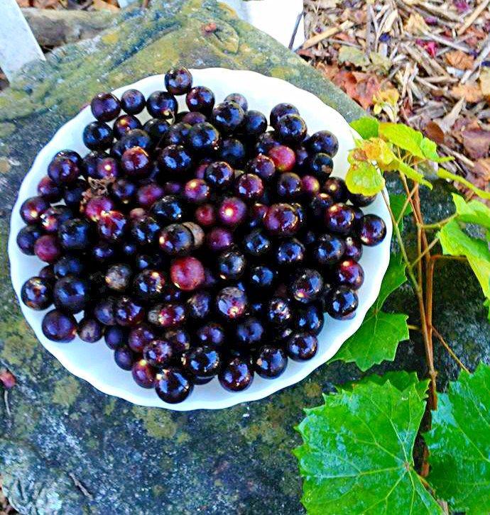 Muscadine Grape Cake Recipes