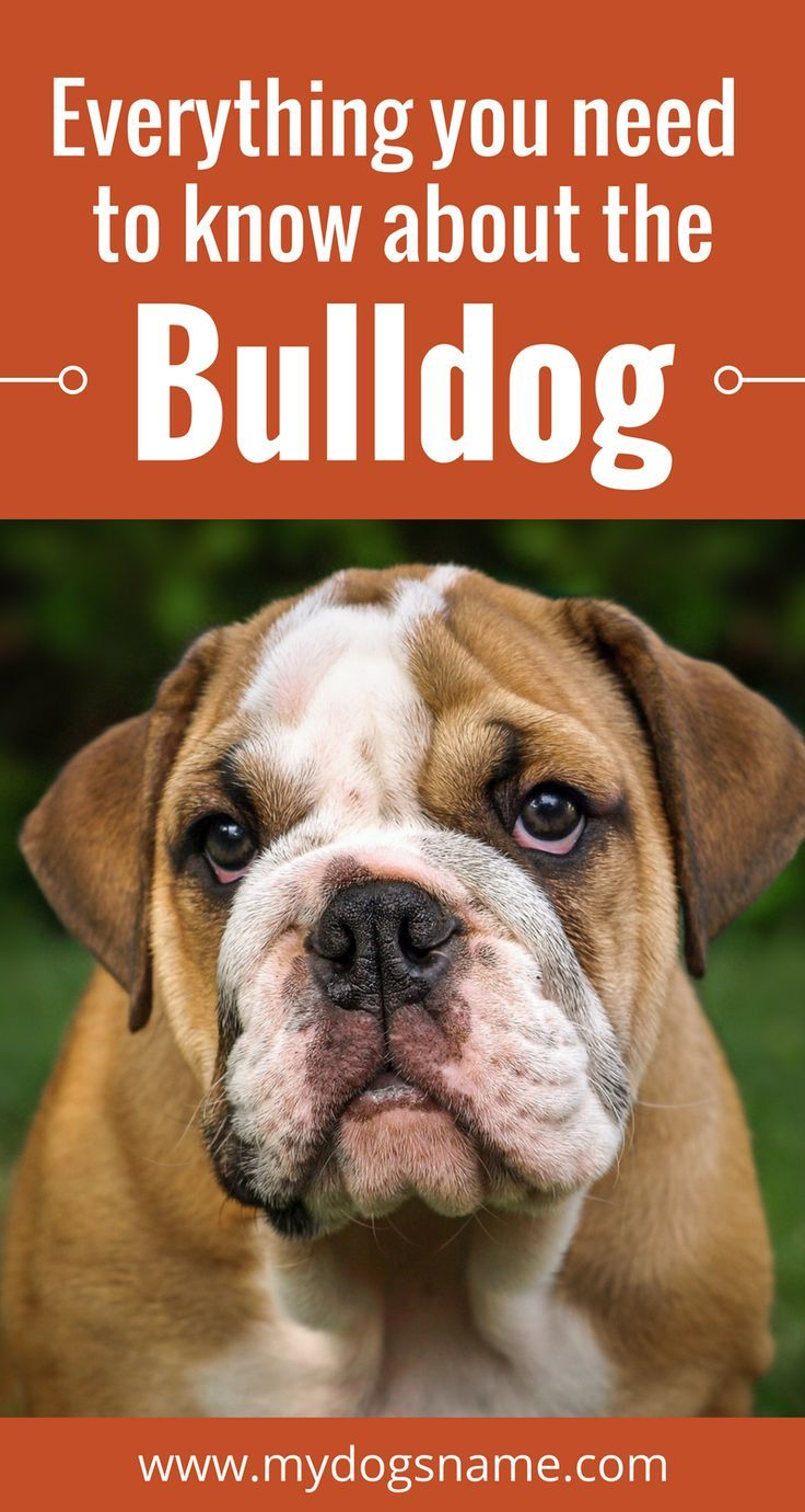 Learn All About The Bulldog Breed History Stats Health More