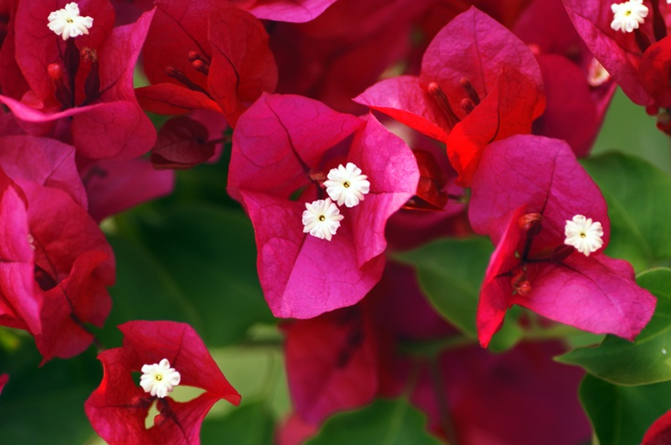 Chania - Flowers