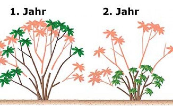 Rückschnitt eines alten Rhododendrons: Pro Jahr wird jeweils nur die Hälfte der alten Äste gekürzt. Ab dem dritten Jahr bildet die Pflanze dann…