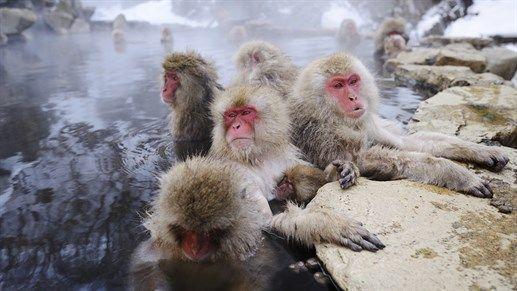 Japan! See bathing monkeys close to Nagano in Japan. #destinations2017 #travel #explore #japan #nagano #kilroy