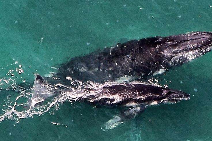 Drone photography addict Justin Edwards captured this beautiful footage of a humpback mother and calf duo off the coast of Hawaii.