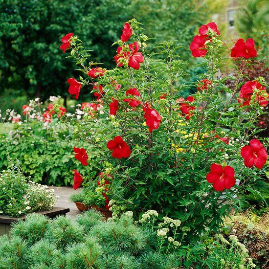 49 best tall border plants images on pinterest border for Tall flowering shrubs