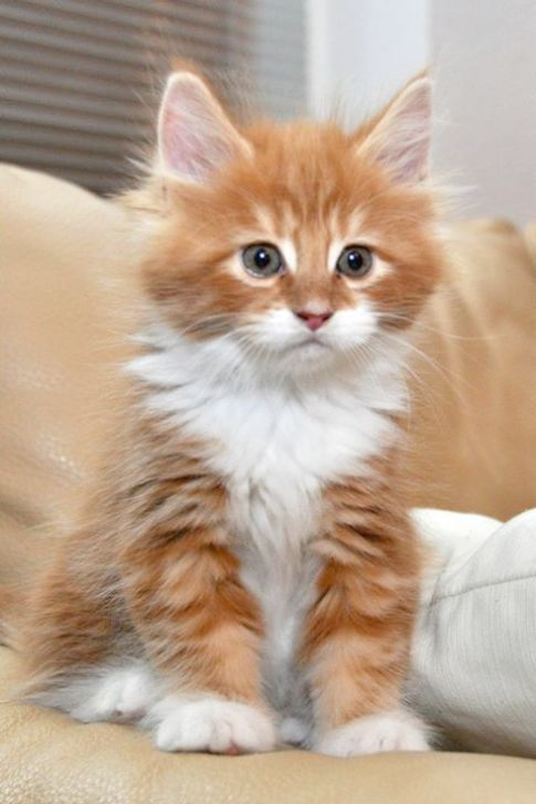 Breathtaking Puppies For Sale Near Me Ohio Cute Cats Cute Animals Pretty Cats